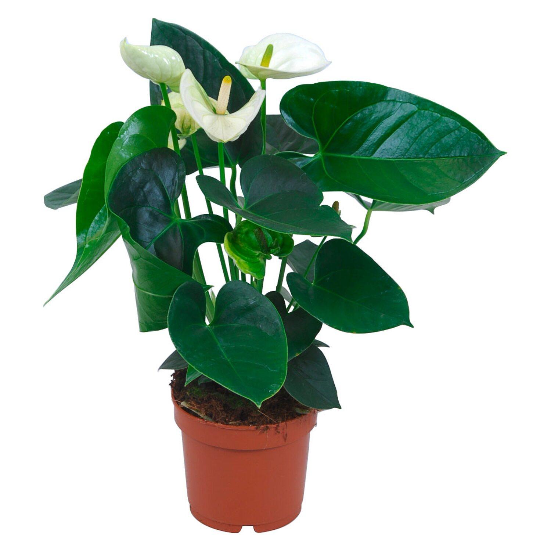 anthurie wei topf ca 12 cm anthurium andreanum kaufen bei obi. Black Bedroom Furniture Sets. Home Design Ideas