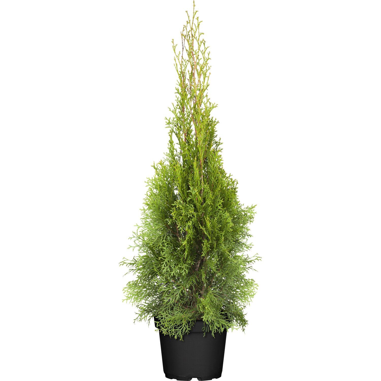 Lebensbaum Smaragd Höhe ca. 10 - 20 cm Topf ca. 0,5 l Thuja