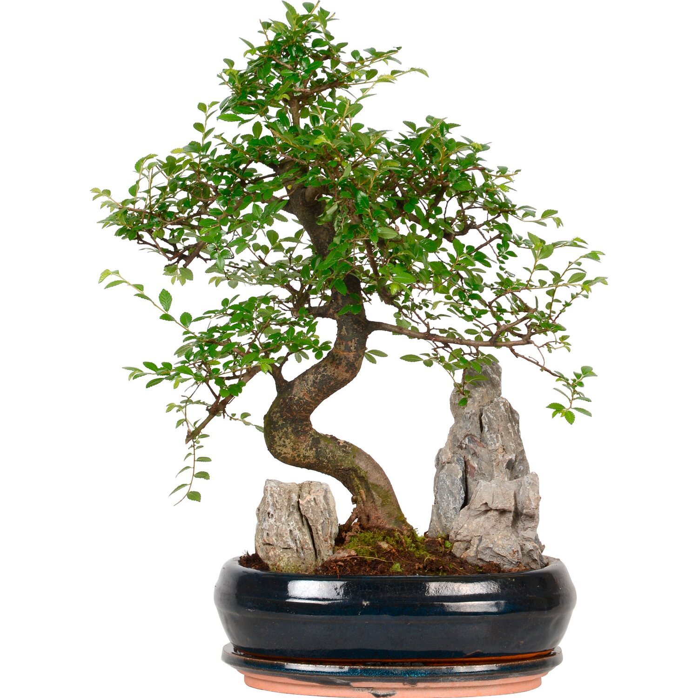 bonsai mit deko topf 26 cm kaufen bei obi. Black Bedroom Furniture Sets. Home Design Ideas
