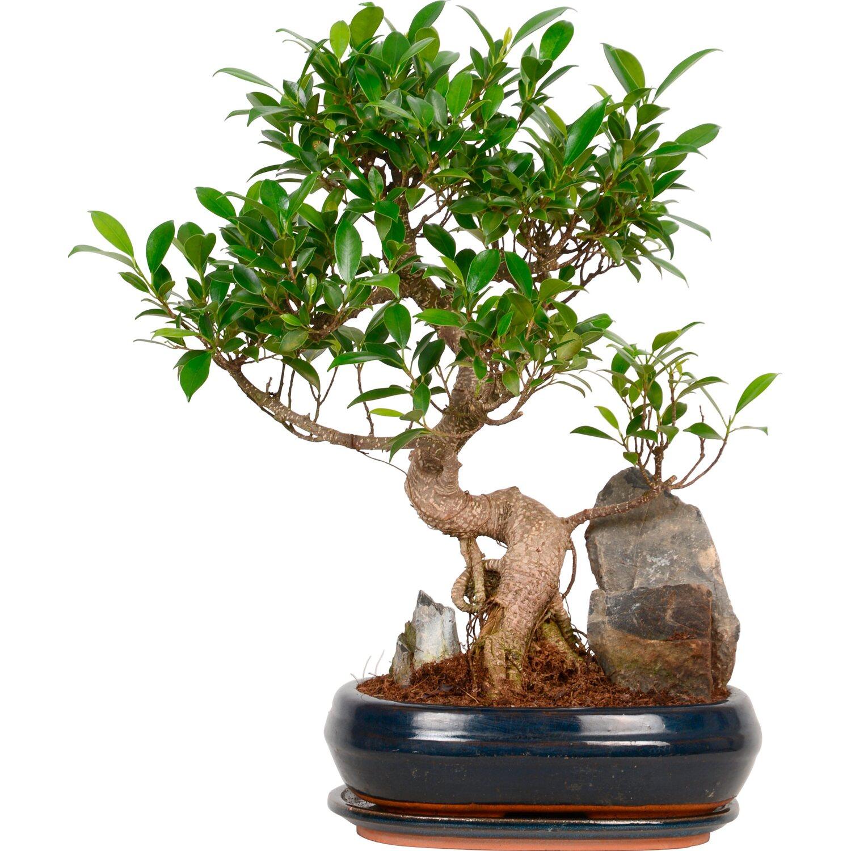 Bonsai mit deko topf 26 cm kaufen bei obi for Zimmerpflanzen dekorativ