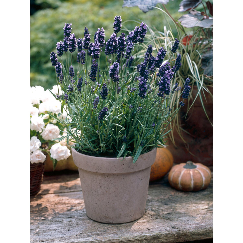 Lavendel Hidcote Blue Violett Topf-Ø ca. 9 cm x...