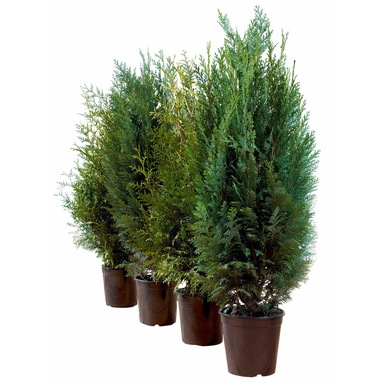 "Lebensbaum ""Brabant"" Höhe ca 80 100 cm Topf ca 4 l Thuja"