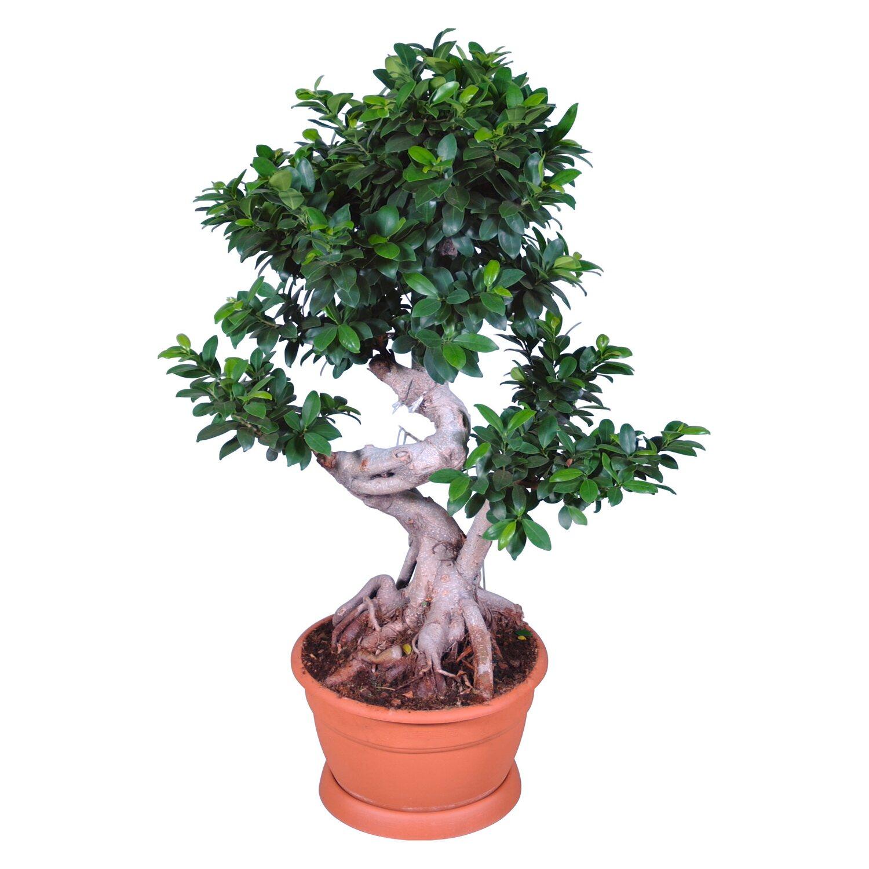 Ficus Ginseng Kaufen : bonsai ficus ginseng topf ca 35 cm kaufen bei obi ~ Sanjose-hotels-ca.com Haus und Dekorationen