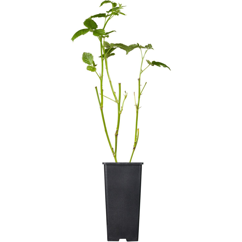 obi brombeere black satin schwarz h he ca 20 30 cm. Black Bedroom Furniture Sets. Home Design Ideas