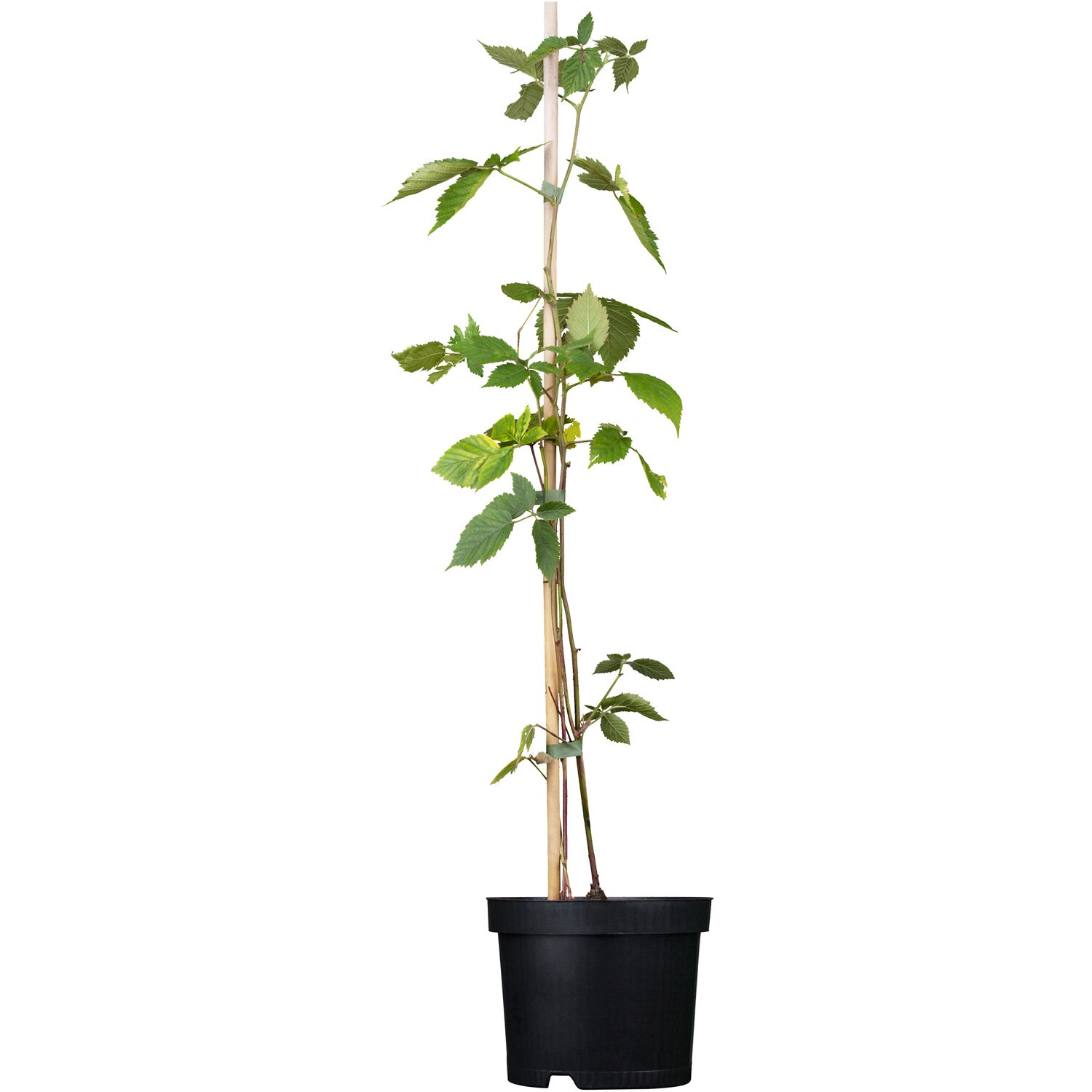 Brombeere Chester Thornless Schwarz Höhe ca. 20 - 30 cm Topf ca. 2 l Rubus