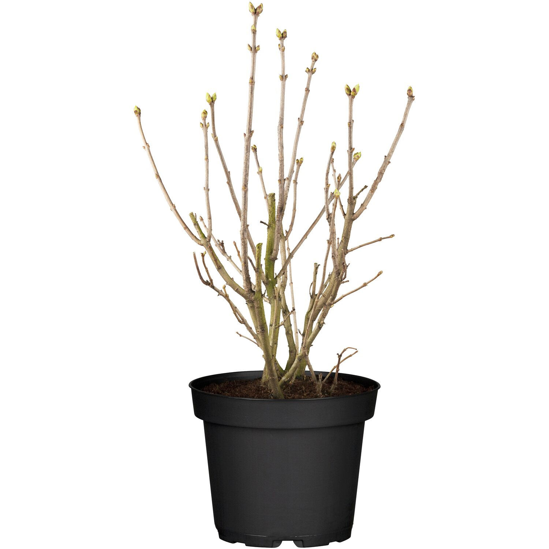 obi edelflieder lavender lady lila h he ca 50 60 cm topf ca 3 5 l syringa kaufen bei obi. Black Bedroom Furniture Sets. Home Design Ideas