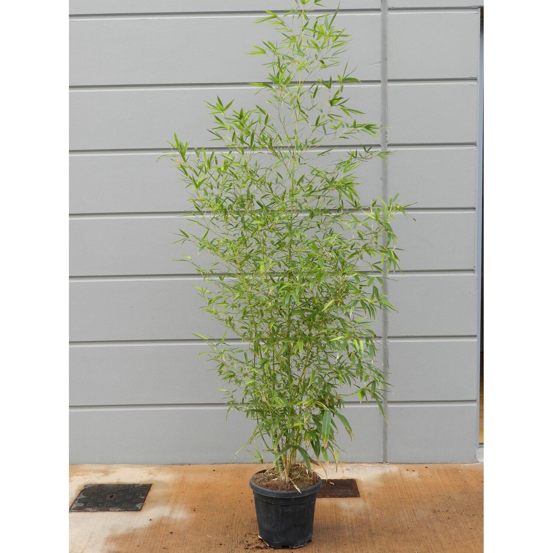 Gold Bambus Topf ˜ ca 26 cm Phyllostachys kaufen bei OBI