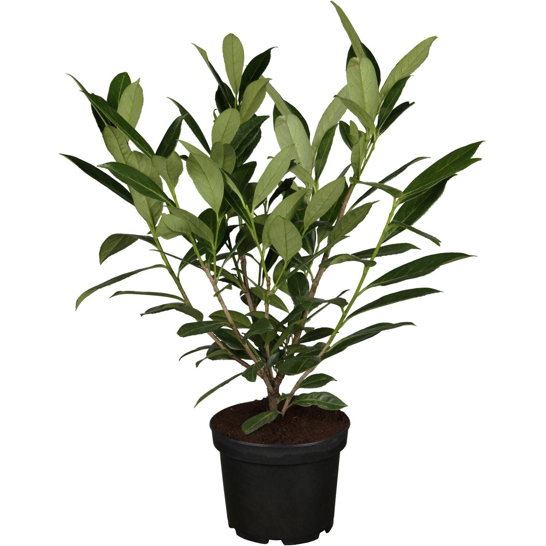 """Kirschlorbeer """"Caucasica"""" 10 Pflanzen Höhe ca 40 60 cm Topf ca"""