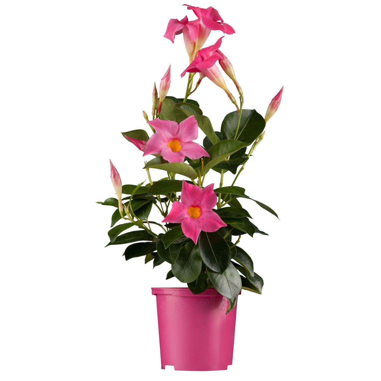 obi dipladenie rosa topf ca 10 5 cm mandevilla kaufen bei obi. Black Bedroom Furniture Sets. Home Design Ideas