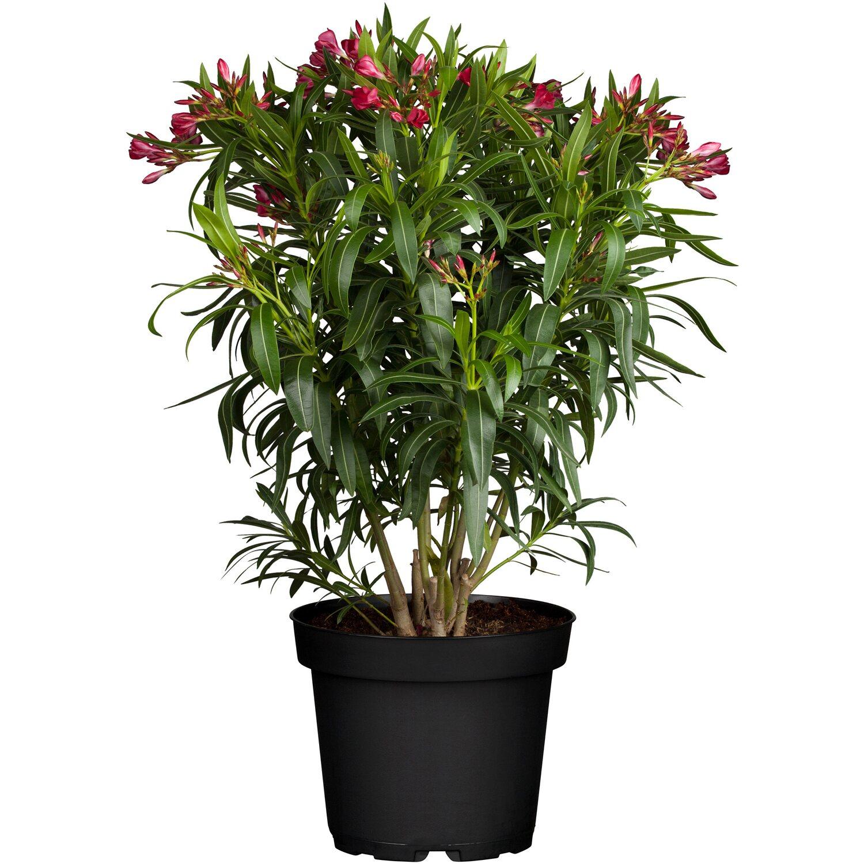 Oleander Standort Garten: Oleander Rot Topf-Ø Ca. 20 Cm Nerium Kaufen Bei OBI