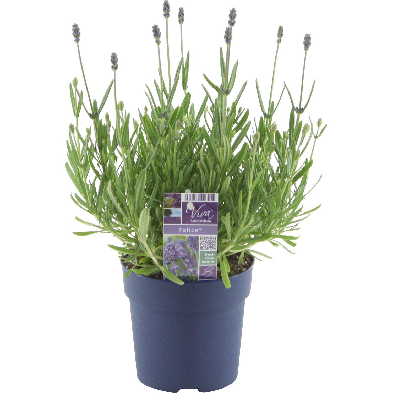 OBI Lavendel Felice Topf-Ø ca. 12 cm Lavandula ...