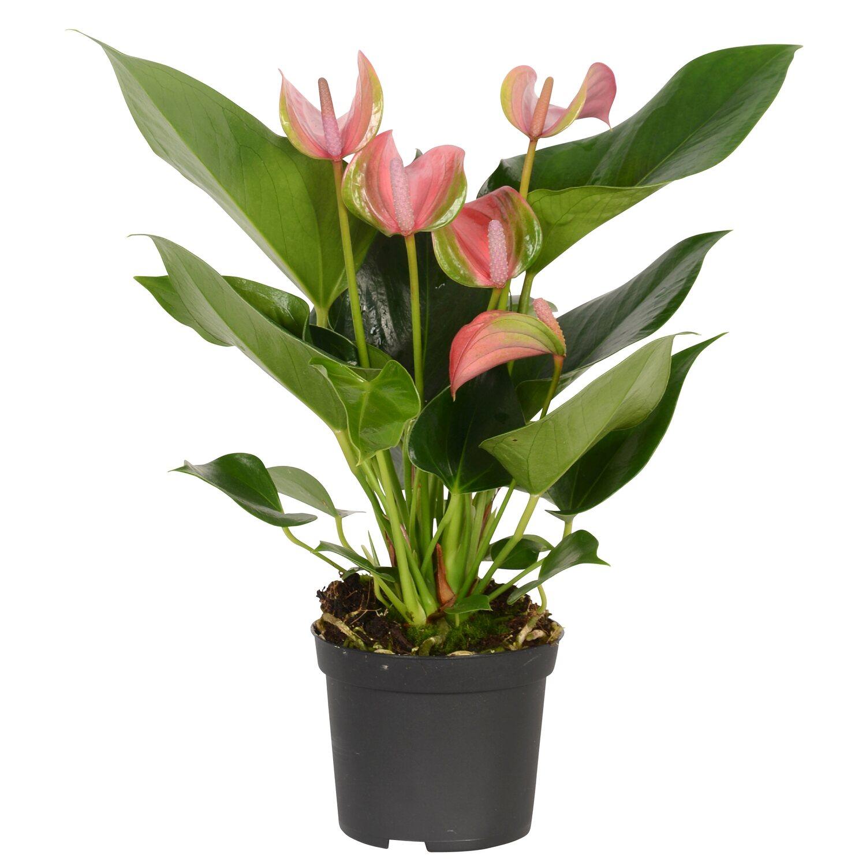 anthurie rosa topf ca 9 cm anthurium andreanum kaufen bei obi. Black Bedroom Furniture Sets. Home Design Ideas