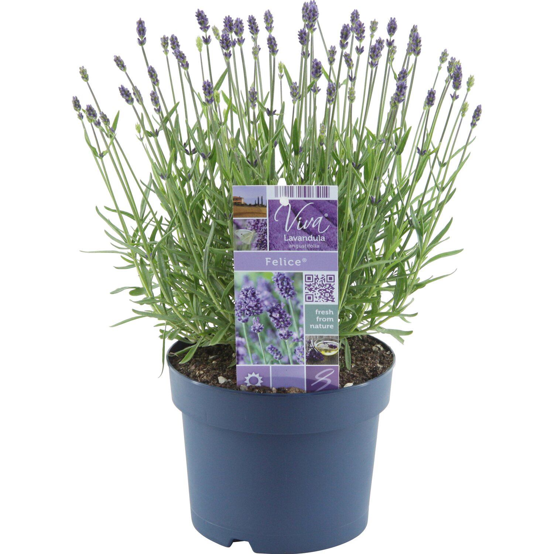 Obi lavendel felice topf ca 17 cm lavandula - Duftende gartenpflanze ...