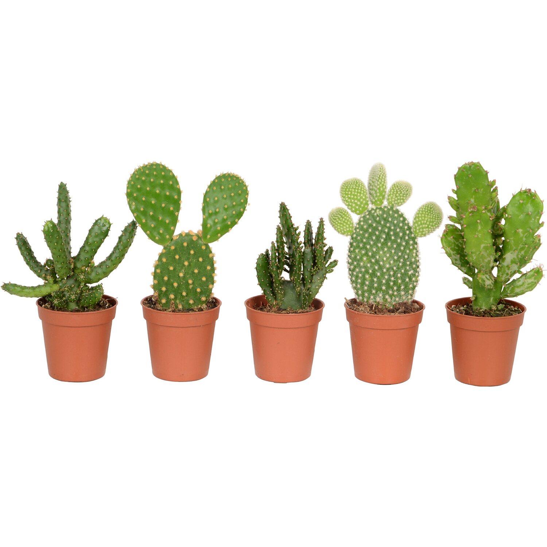 kakteen mix topf ca 5 5 cm kaktus kaufen bei obi. Black Bedroom Furniture Sets. Home Design Ideas