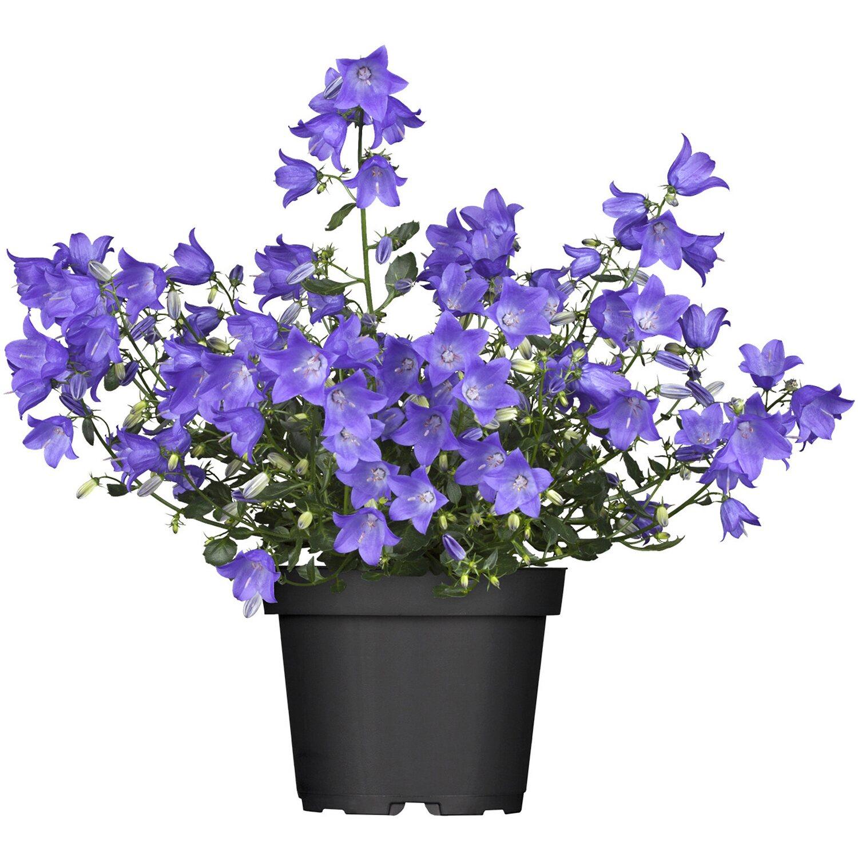 karpaten glockenblume blau topf ca 13 cm campanula kaufen bei obi. Black Bedroom Furniture Sets. Home Design Ideas