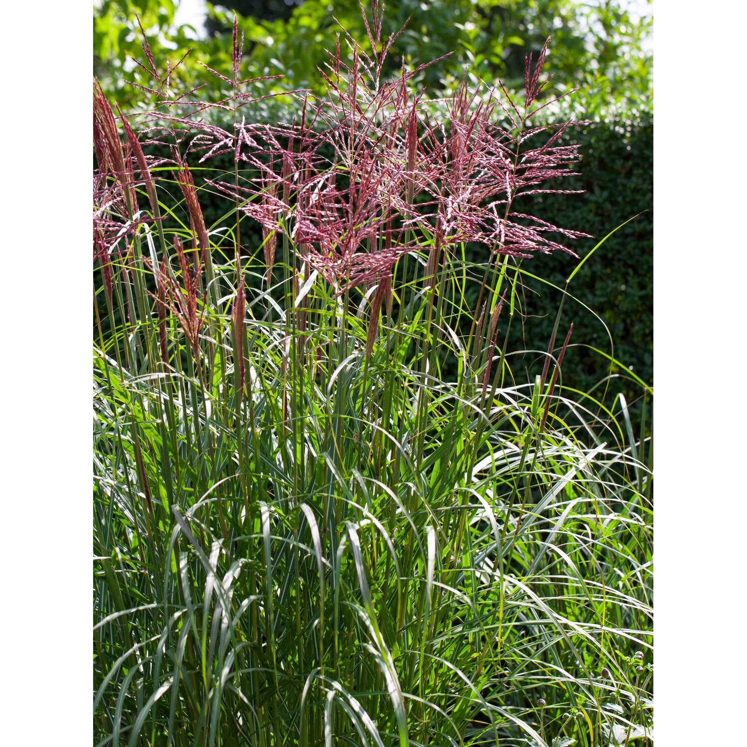 chinaschilf september rot topf ca 28 cm miscanthus. Black Bedroom Furniture Sets. Home Design Ideas