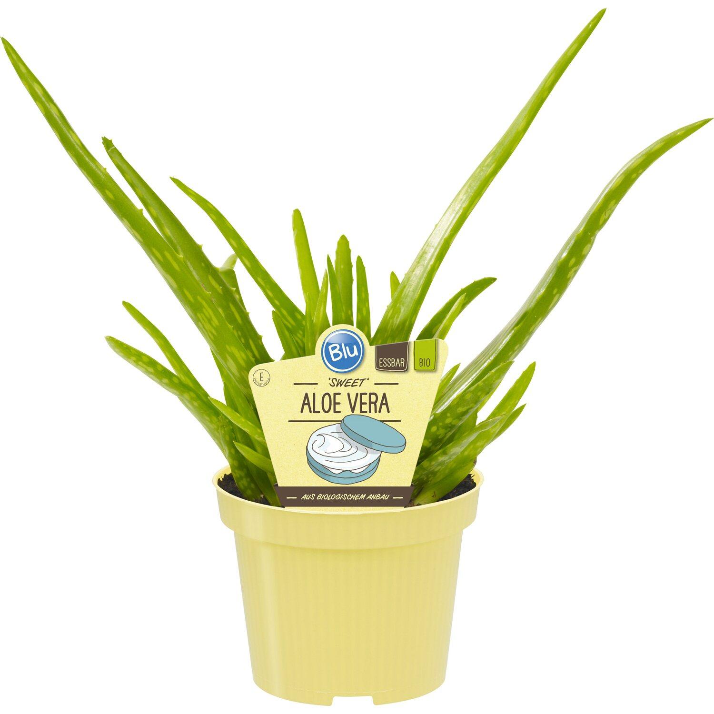Blu Echte Aloe Vera Topf Ø Ca. 12 Cm