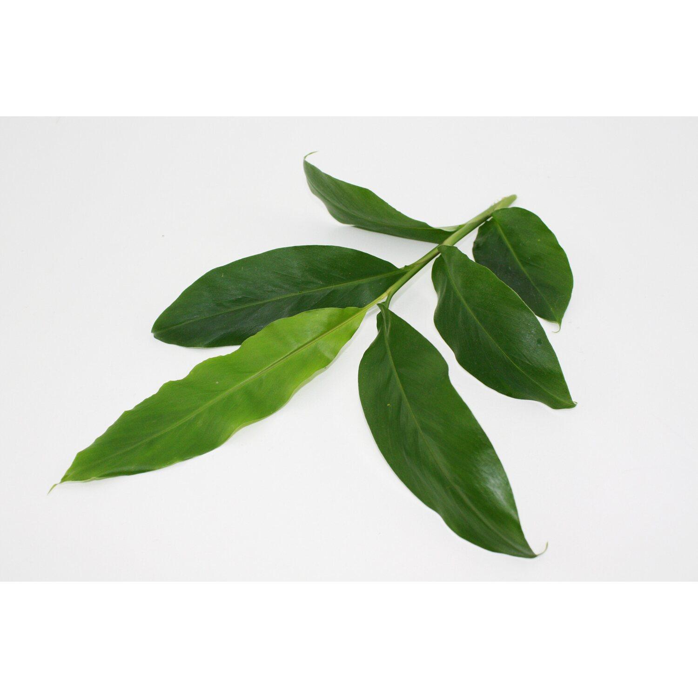Blu Zimtpflanze Topf O Ca 12 Cm Kaufen Bei Obi