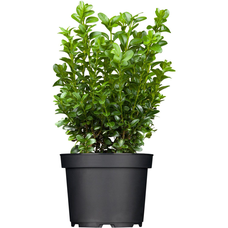 Buchsbaum Höhe ca. 20 - 30 cm Topf ca. 1 l Buxus