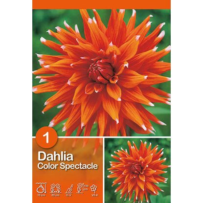 "Dahlien ""Color Spectacle"" Rot-Weiß"