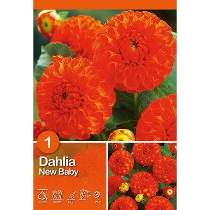 "Dahlien ""New Baby"" Orange"