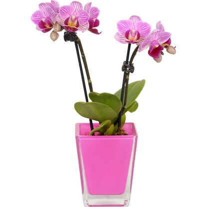 Mini Schmetterlings-Orchidee 2-Trieber in Cube-Glas-Gefäß
