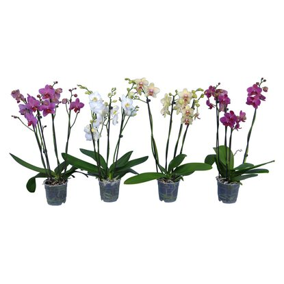 Schmetterlings-Orchidee 4-Trieber