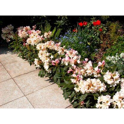 rhododendron dufthecke wei h he ca 20 30 cm topf ca 5 l kaufen bei obi. Black Bedroom Furniture Sets. Home Design Ideas