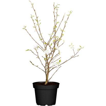 obi sternmagnolie wei h he ca 50 60 cm topf ca 5 l magnolia kaufen bei obi. Black Bedroom Furniture Sets. Home Design Ideas