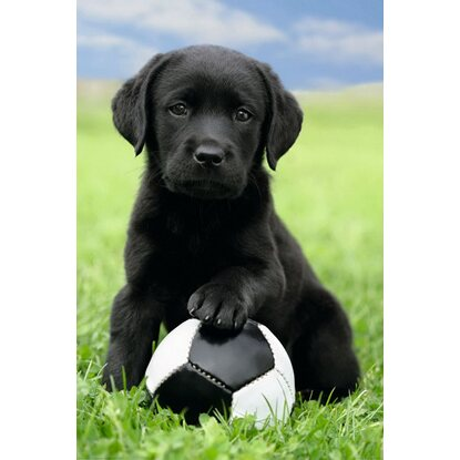 Maxiposter Dog - Labrador football 61 cm x 91,5 cm
