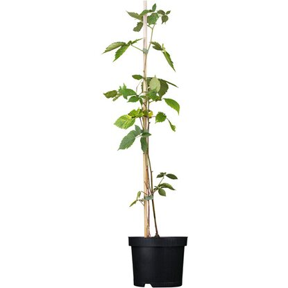 "Brombeere ""Chester Thornless"" Schwarz Höhe ca. 20 - 30 cm Topf ca. 2 l Rubus"