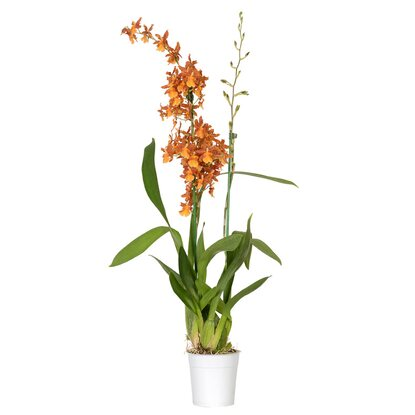 "Cambria-Orchidee ""Catatante"" 2-Trieber Orange Cambria"