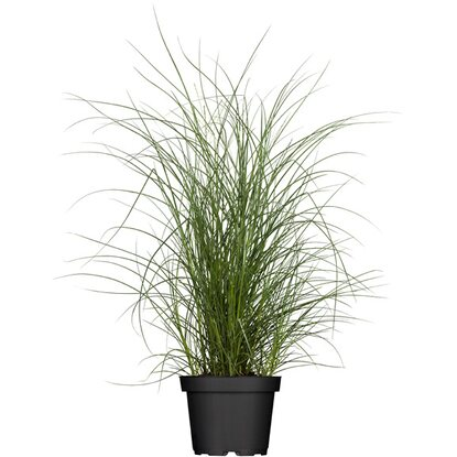"Chinaschilf ""Cut One"" Topf-Ø ca. 19 cm Miscanthus"