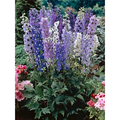 "Rittersporn ""Magic Fountain"" Topf-Ø ca. 23 cm Delphinium"