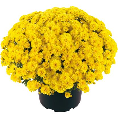 OBI SELECTION Gigi Yellow Topf-Ø ca. 13 cm Chrysanthemum Morifolium
