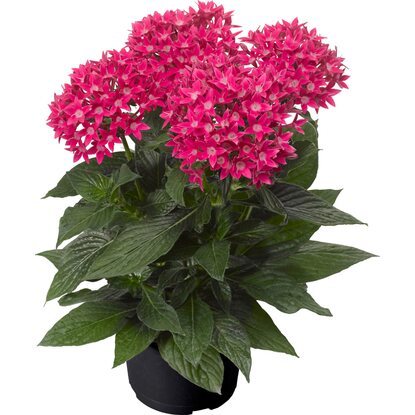 OBI SELECTION Starcluster Rose Topf-Ø ca. 12 cm Pentas