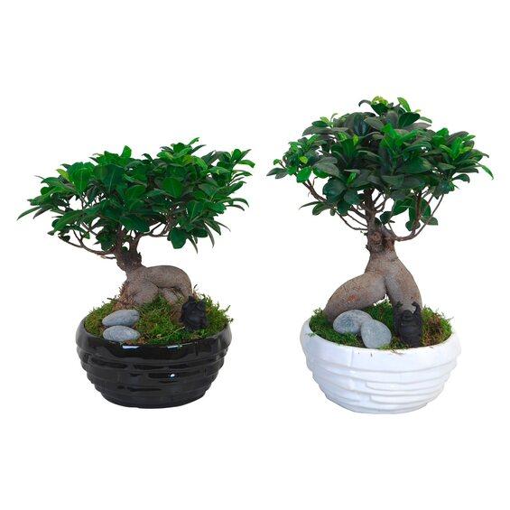 ficus ginseng kaufen bonsai ficus ginseng topf ca 35 cm kaufen bei obi ficus ginseng topf ca. Black Bedroom Furniture Sets. Home Design Ideas