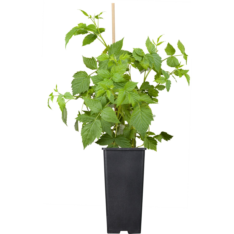 Himbeere Malling Promise Rot Höhe ca. 20 - 30 cm Topf ca. 2 l Rubus