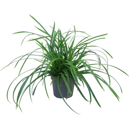 "Segge ""Irish Green""Topf-Ø ca. 17 cm Carex morrowii"