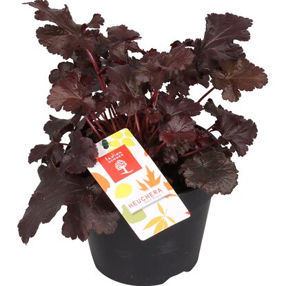 "Purpurglöckchen ""Black Beauty"" Purpurrot Topf-Ø ca. 15 cm Heuchera"