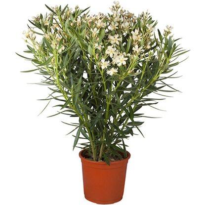 obi oleander wei topf ca 20 cm nerium kaufen bei obi. Black Bedroom Furniture Sets. Home Design Ideas