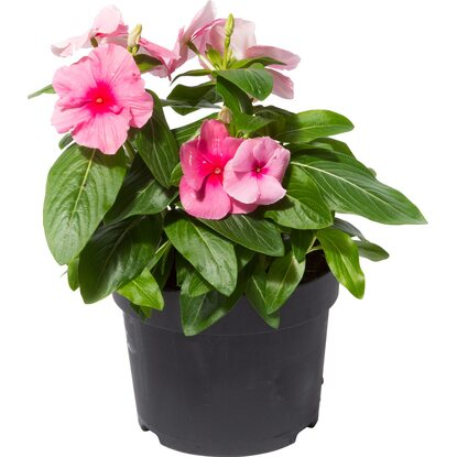 OBI SELECTION Cora Cascade Strawberry Topf-Ø ca. 13 cm Catharanthus