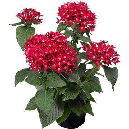 OBI SELECTION Starcluster Red Topf-Ø ca. 12 cm Pentas