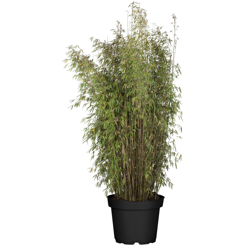 Bambus Online Kaufen Bei Obi Obi At
