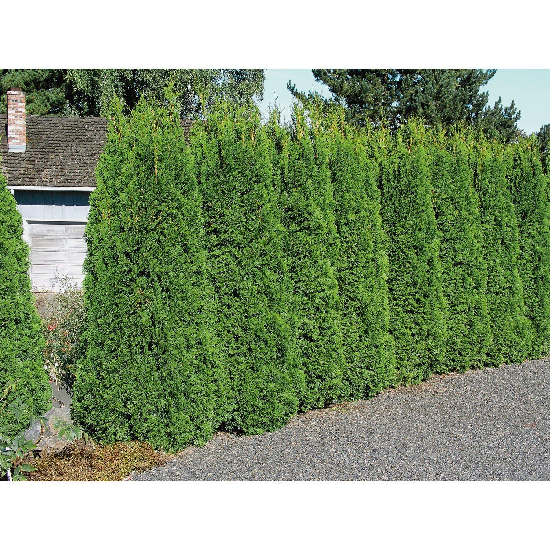 Obi Lebensbaum Smaragd Hohe Ca 20 30 Cm Topf Ca 2 L Thuja