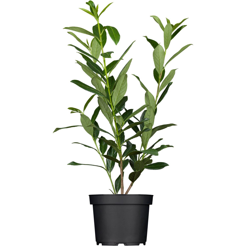 """Kirschlorbeer """"Caucasica"""" 3 Pflanzen Höhe ca 80 100 cm Topf ˜"""