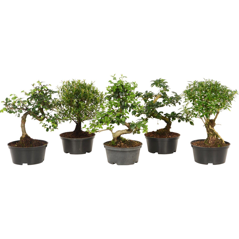 Bonsai- kedvünk szerint- bonsai-félék