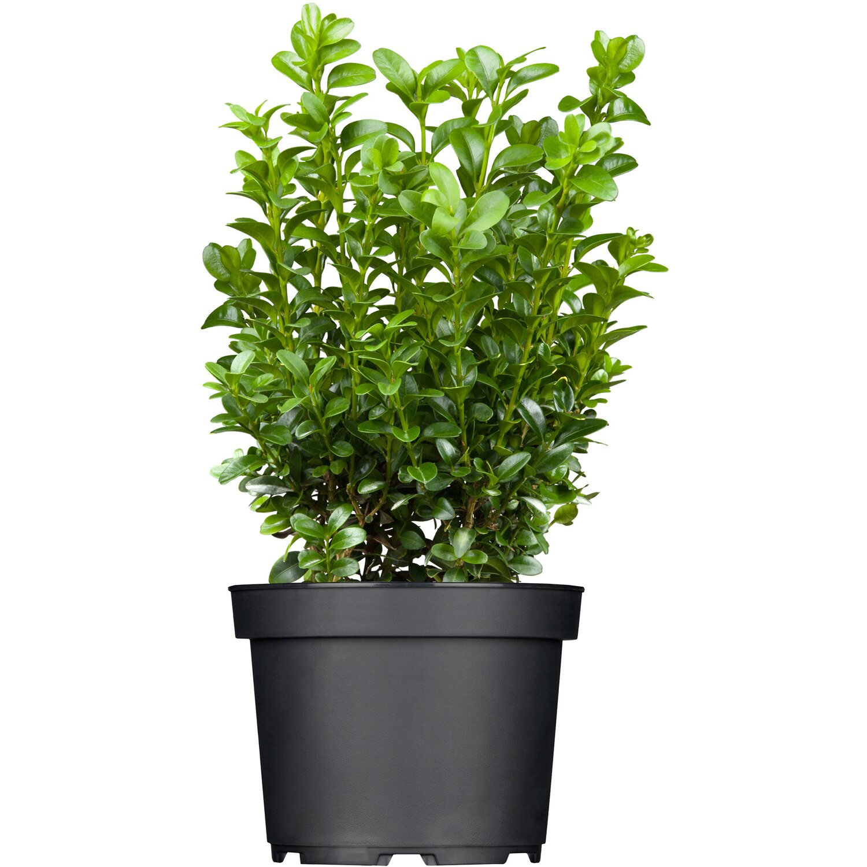 buchsbaum h he ca 40 50 cm topf ca 5 l buxus sempervirens kaufen bei obi. Black Bedroom Furniture Sets. Home Design Ideas