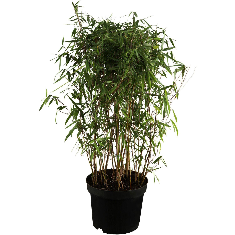 Garten bambus h he 100 125 cm topf ca 10 l fargesia for Garten bambus