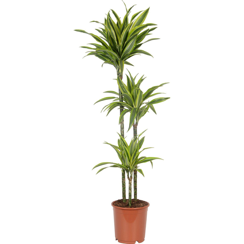 drachenbaum deremensis 3er stamm topf ca 24 cm dracaena fragans kaufen bei obi. Black Bedroom Furniture Sets. Home Design Ideas